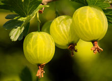 gooseberry Imagen de archivo libre de regalías