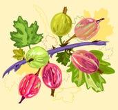 gooseberry Photos libres de droits