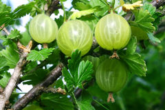 Gooseberry Stock Photos