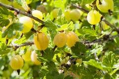 gooseberry images libres de droits
