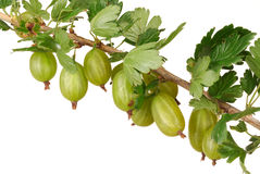 Gooseberry Royalty Free Stock Images