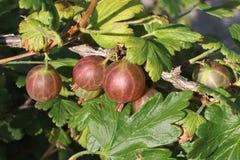 gooseberry Imagen de archivo