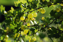 Gooseberry. Ripening gooseberry fruit on the branch Royalty Free Stock Photos