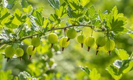 Gooseberry berries are hanging in a row on a branch illuminated by a backlight.  royalty free stock photo