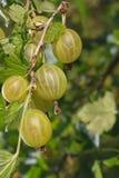 Gooseberry berries in row Stock Photos
