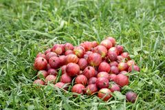 Gooseberry berries are scattered on the green grass. Description: gooseberry berries are scattered on the green grass, agriculture, background, dessert, food stock image