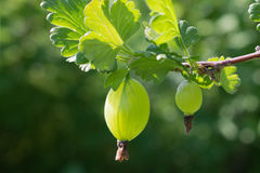 Gooseberry berry on a branch under the leaves Stock Image
