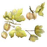 Gooseberry berry healthy food isolated. Watercolor background illustration set. Isolated berrirs illustration element. Gooseberry berry healthy food isolated stock illustration