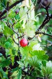 Gooseberry berry in the summer in the garden stock image