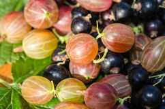 Gooseberry and blackcurrant Stock Images