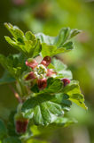 Gooseberry bloom stock images