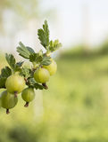 Gooseberry on blurred background Stock Image