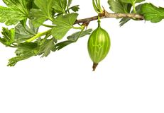 Gooseberry branch Stock Photos