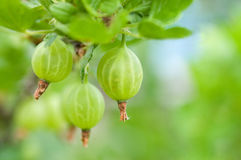 Gooseberry on a branch Royalty Free Stock Photos