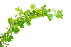 Gooseberry branch Royalty Free Stock Image