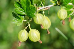 Gooseberry on a branch Royalty Free Stock Image