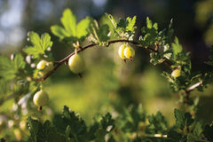 Gooseberry on branch Royalty Free Stock Photography