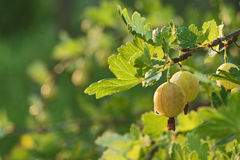 Gooseberry on branch Stock Images