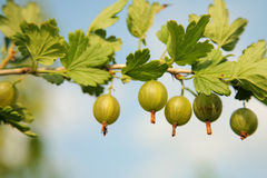 Gooseberry branch Stock Image