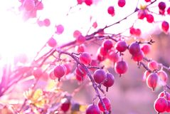 Gooseberry branch with berries Stock Image
