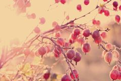 Gooseberry branch with berries Stock Photography