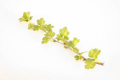 Gooseberry branch Royalty Free Stock Images