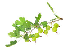 Gooseberry branch isolated on white Stock Image