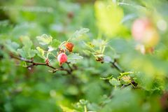 Gooseberry branch with ripe berries in summer garden. Gooseberries in garden. Summer berries. foliage and branches of a. Gooseberry branch with ripe berries in royalty free stock photography