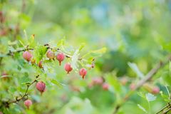 Gooseberry branch with ripe berries in summer garden. Gooseberries in garden. Summer berries. foliage and branches of a. Gooseberry branch with ripe berries in royalty free stock photos