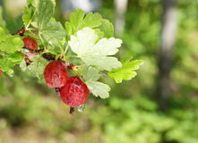 Gooseberry on the branch Stock Image