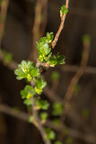 Gooseberry branch Royalty Free Stock Photos