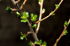 Gooseberry branch Royalty Free Stock Photo