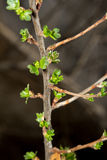 Gooseberry branch Royalty Free Stock Photography
