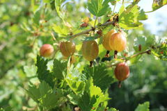 Gooseberry branch in the summer garden Royalty Free Stock Photo