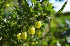 Gooseberry on branch in sunlight Stock Photo