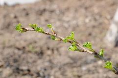Gooseberry branch with young leaves Stock Images