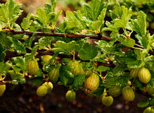 Gooseberry branchs. Green Gooseberry branchs with raindrops Royalty Free Stock Image