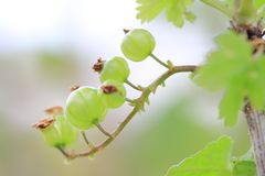 Gooseberry bush Stock Photos