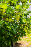 Gooseberry bush with berries and green leaves Royalty Free Stock Photos