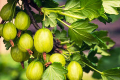Gooseberry bush with berries and green leaves Royalty Free Stock Photography