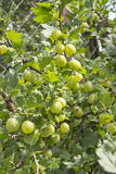 Gooseberry bush. With berries grown in the country with their own hands Royalty Free Stock Image