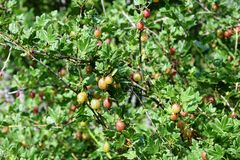 The gooseberry Bush with the berries stock image