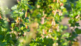 Gooseberry bush in bloom Stock Image