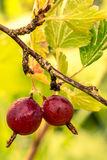 Gooseberry bush Stock Images