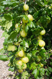 Gooseberry Bush Royalty Free Stock Image