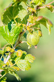 Gooseberry bush with green berries Royalty Free Stock Photography