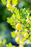 Gooseberry bush with green berries Royalty Free Stock Photos