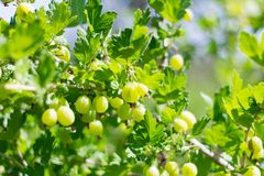 Gooseberry Bush with large green leaves and berries.  stock image