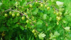 Gooseberry bush stock video