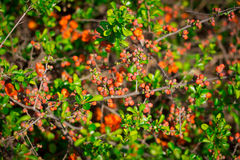 Gooseberry bush with red buds Royalty Free Stock Photo